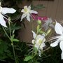 Columbine and Bleeding Hearts