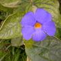 Thunbergia battiscombei - A Shrubby Thunbergia (Thunbergia battiscombei - A Shrubby Thunbergia)