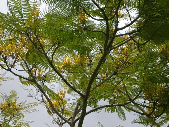San Diego Zoo - Schizolobium parahybum - Brazilian Fern Tree (Schizolobium parahybum - Brazilian Fern Tree)