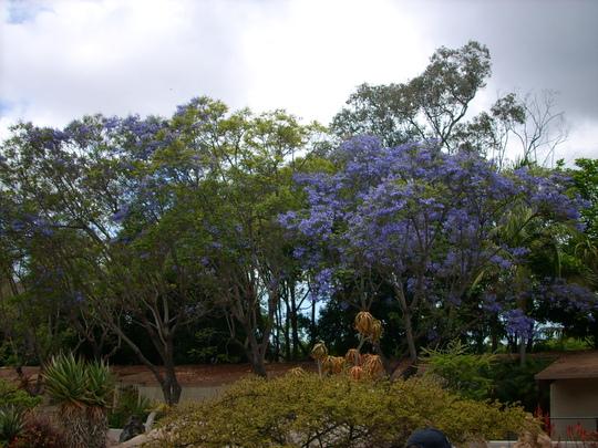 Jacaranda mimosifolia - Jacaranda Tree (Jacaranda mimosifolia - Jacaranda Tree)