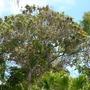 Spathodea campanulata - African Tulip Tree at San Diego Zoo (Spathodea campanulata - African Tulip Tree at San Diego Zoo)