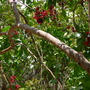 Schotia brachypetala - Parrot Tree or Weeping Boer-Bean Tree (Schotia brachypetala - Parrot Tree or Weeping Boer-Bean Tree)