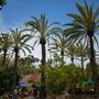 Phoenix dactylifera - Date Palm (Phoenix dactylifera - Date Palm)