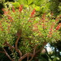 Erythrina crista-galli - Cockspur Coral Tree (Erythrina crista-galli - Cockspur Coral Tree)