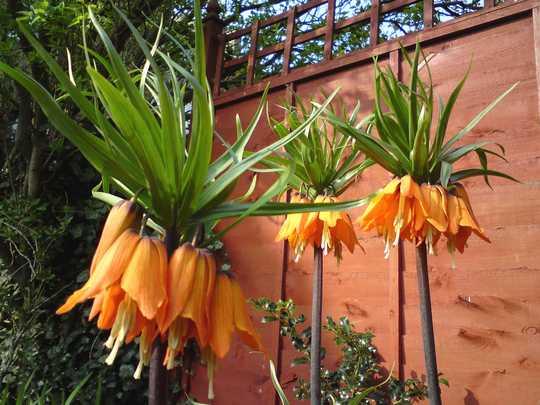 3 fritillarias (Fritillaria Ruba Massima (crown imperialis))