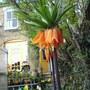 Imperialis (Fritillaria Ruba Massima (crown imperialis))