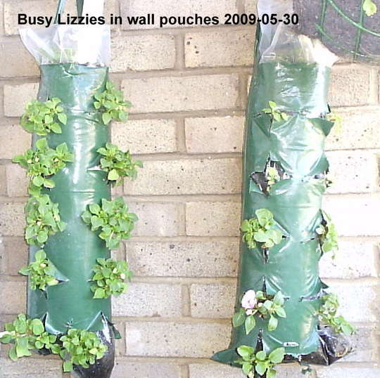 Busy_Lizzies_in_wall_pouches_on_balcony_2009-05-30_001.jpg