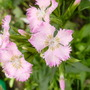 pale pink sweet william