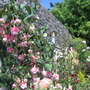 Fuchsia, Southgate, (Fuchsia Southgate.)