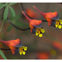 Fish plant (tropaeolum tricolor)