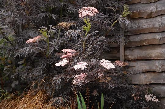 sambucus nigra 39 black lace 39 grows on you. Black Bedroom Furniture Sets. Home Design Ideas