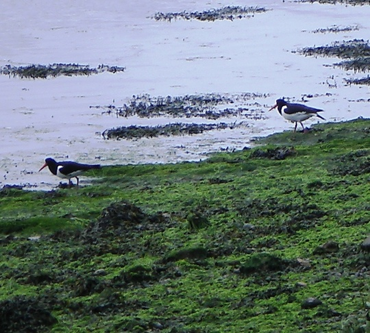 Oystercatchers on Crouch 10-06-09
