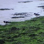 Oystercatchers_on_crouch_10_0609_1