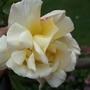 Mystery_rose