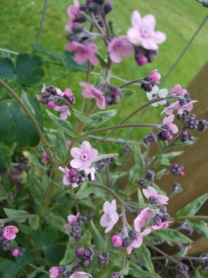 Cynoglossum dioscoridies 'Misty Morn' (Cynoglossum dioscoridies 'Misty Morn')