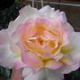 East_rose_2009_124