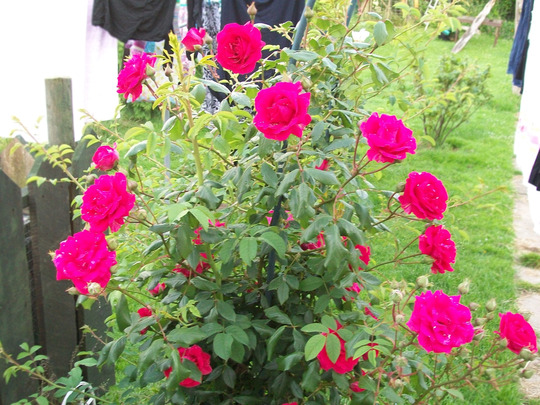Roses looking lovely