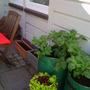 Patio veg garden.