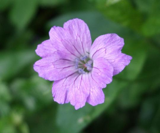 Geranium nodusum 'Swish Purple' (Geranium nodusum)