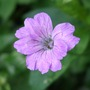 Geranium_swish_purple_