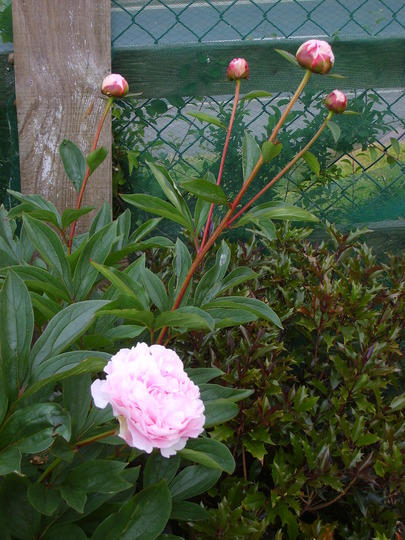 Micheles beloved peony.
