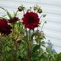 Dahlia. Un-named seedling.