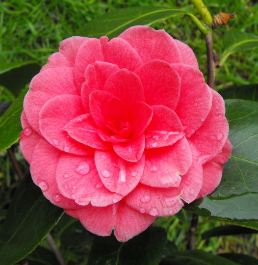 My 1st Camellia Flower to Open