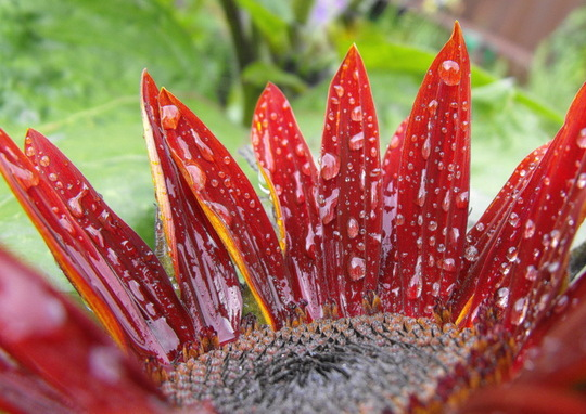 Dwarf Sunflower with Rain Drops