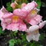 Flowers Of Antirrhinum