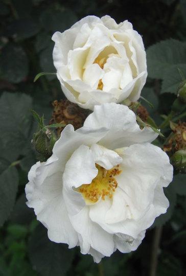 Rosa x alba 'Semi-plena' - 2009 (Rosa x alba 'Semi-plena')
