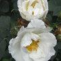 Rosa x alba