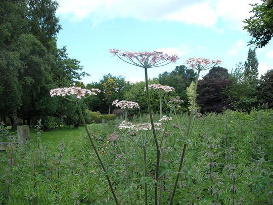 is this giant hogweed?