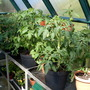 Tomatoes near flowering.