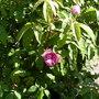 Moss_rose