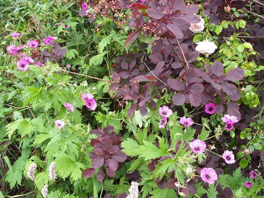 geranium psilostemon, cotinus, hebe & rose