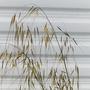 Flowerhead._ornamental_grass