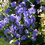 Geranium._johnson_s_blue