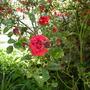 Pillar_rose
