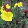Oenothera_fruticosa_fyrverken_2009