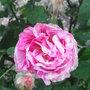 Rosa gallica 'Versicolor' - 2009 (Rosa gallica 'Versicolor')