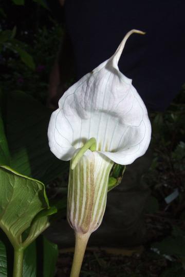 Arisaema griffithianum
