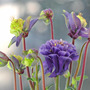 Aquilegia vulgaris 'Winky Double Blue-White' (Aquilegia vulgaris 'Winky Double Blue-White')