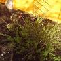 back__garden_spring_gooseberries_2008_021.jpg