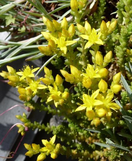 A garden flower photo (Sedum acre (Aci Damkorugu))
