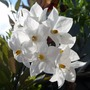 A garden flower photo (Solanum jasminoides (Potato Vine))