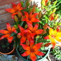 Royal Sunset lillies