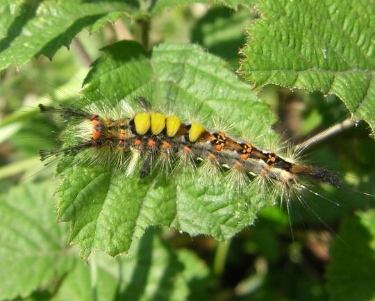 Caterpiller of the Vapourer moth.