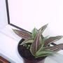 tulipa__red_riding_hood_spring_2008_037.jpg