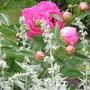 Peony- Sarah Burnhardt, Artemisia and a Bumblebee!