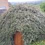 green igloo! (cotoneaster horizontalis)